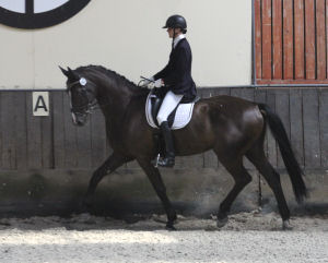 """Carl the Great"" (Carli) at his very first dressage young horse test."