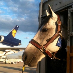 Horse transport by airplane